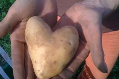 Biomasse und Herzkartoffel auf dem Acker