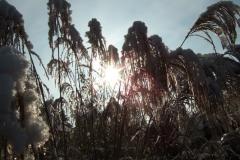 Der erste Schnee, Schilfgras im Vorgarten