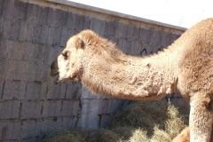 Kamele in der Nachbarschaft